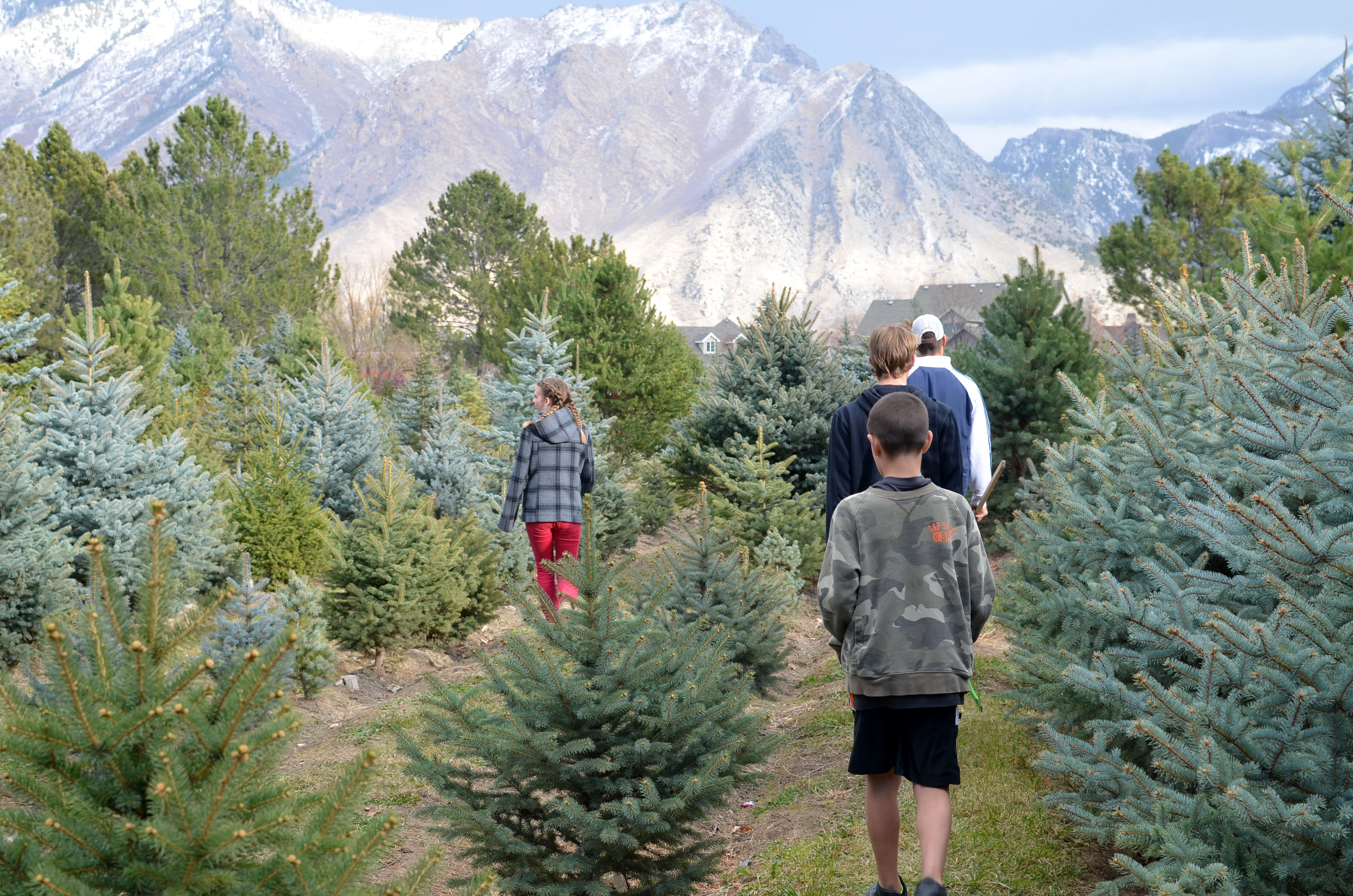 Christmas Tree 2014 Amy Roskelley - Becks Christmas Tree Farm