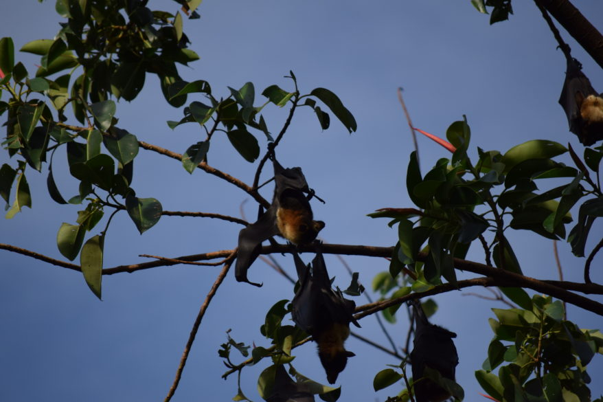 a bat in the tree in cairns australia